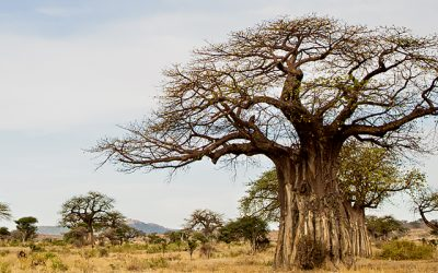 Baobab forests in Ruaha