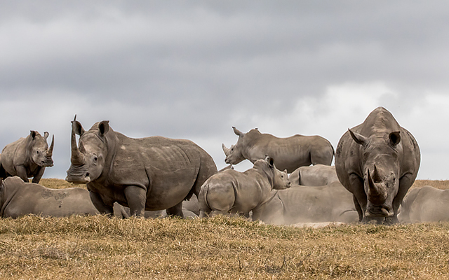 In search of rhinos