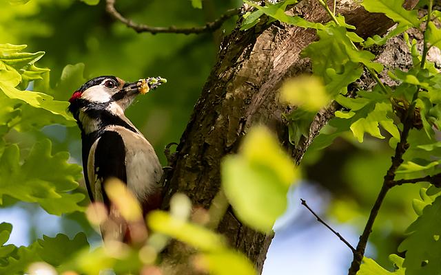 Woodpecker breeding season